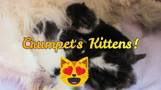 Meet Crumpets Kittens! Adorable Chubby Persian Kittens! 😻