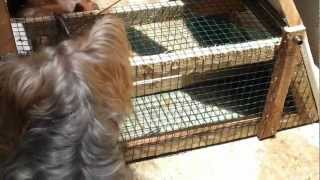 Yorkshire Terrier - Rat Attack (cuddles & Termite)