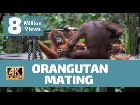 Orangutan Mating No Rules - Rare Footage
