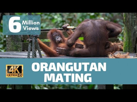 Orangutan Mating No Rules - Rare Footage