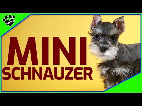 Miniature Schnauzer Dogs 101