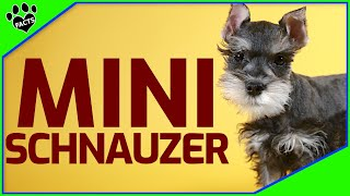 Miniature Schnauzer Dogs 101  What to Know About Miniature Schnauzers