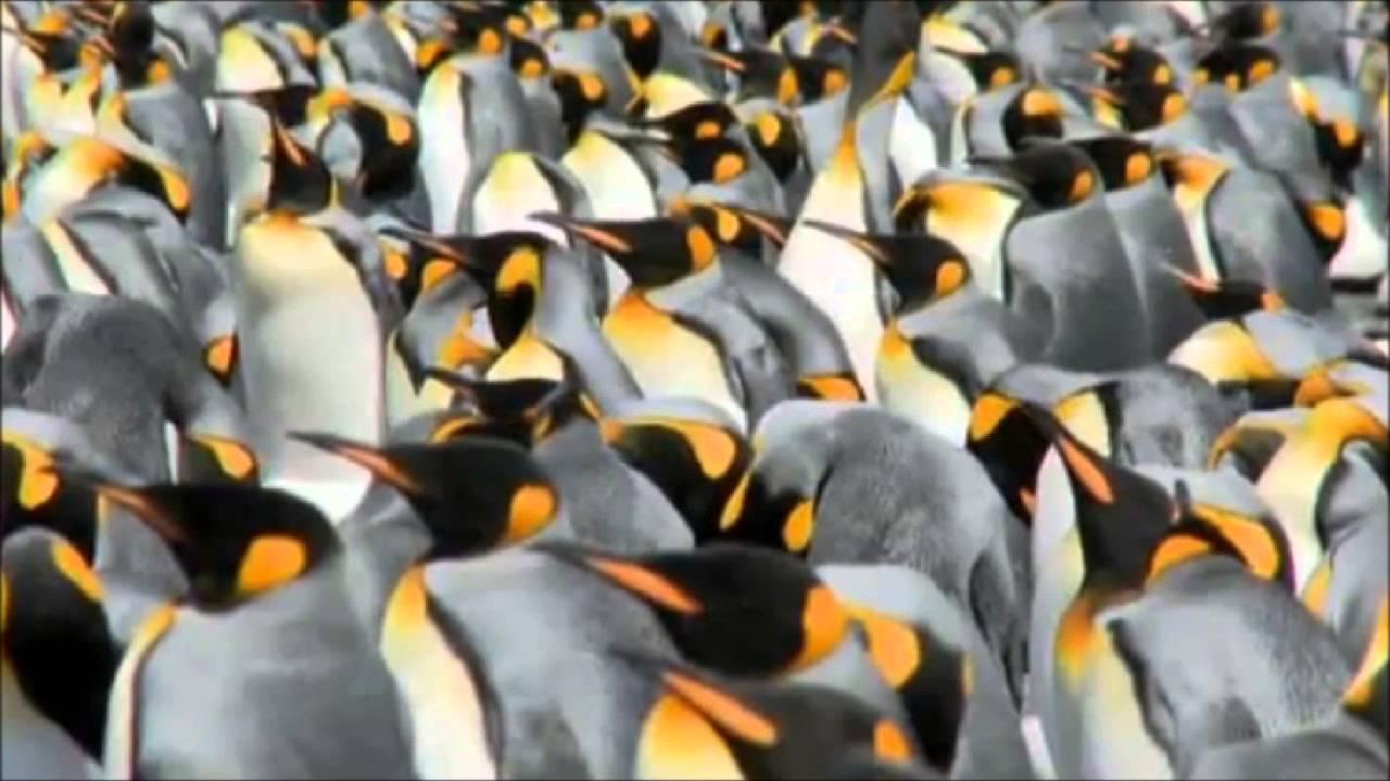 Песня пингвины скачать бесплатно mp3