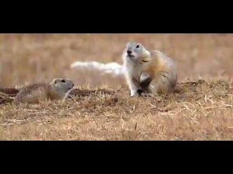 hunting-with-pneumatics-for-gopher-in-yakutia