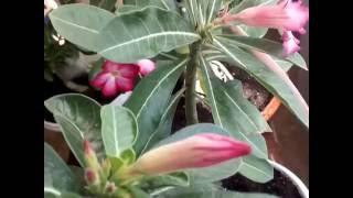 Виды цветов адениумов выращенных в домашних условиях из семян