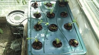 Growing Winter Strawberries in Hydroponics Part 1
