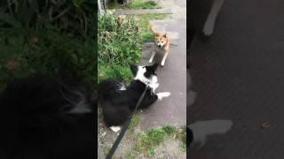 シニアな和犬とボーダーコリーミックス|なぎろぐ thumbnail