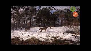 Lupi nel Parco del Casentino