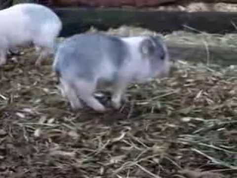 micro-mini-teacup-pigs-for-sale-!-we-ship!