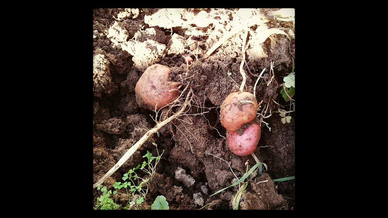 Gardening Trivia How Many kinds of potatoes are there in the