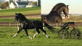 Dutch Harness Horse Stallion Sandokan at Stud