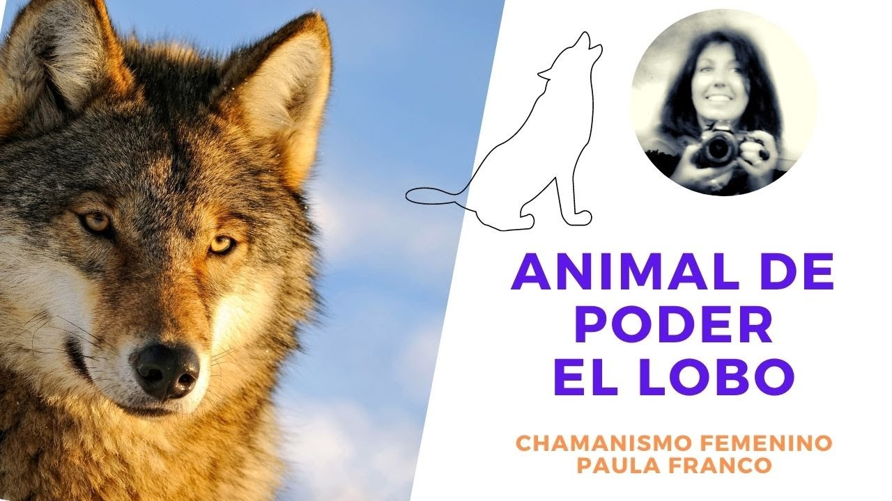 La Medicina del El LOBO como Animal de Poder, el Profesor de la Rueda Ancestral Chamanismo femenino