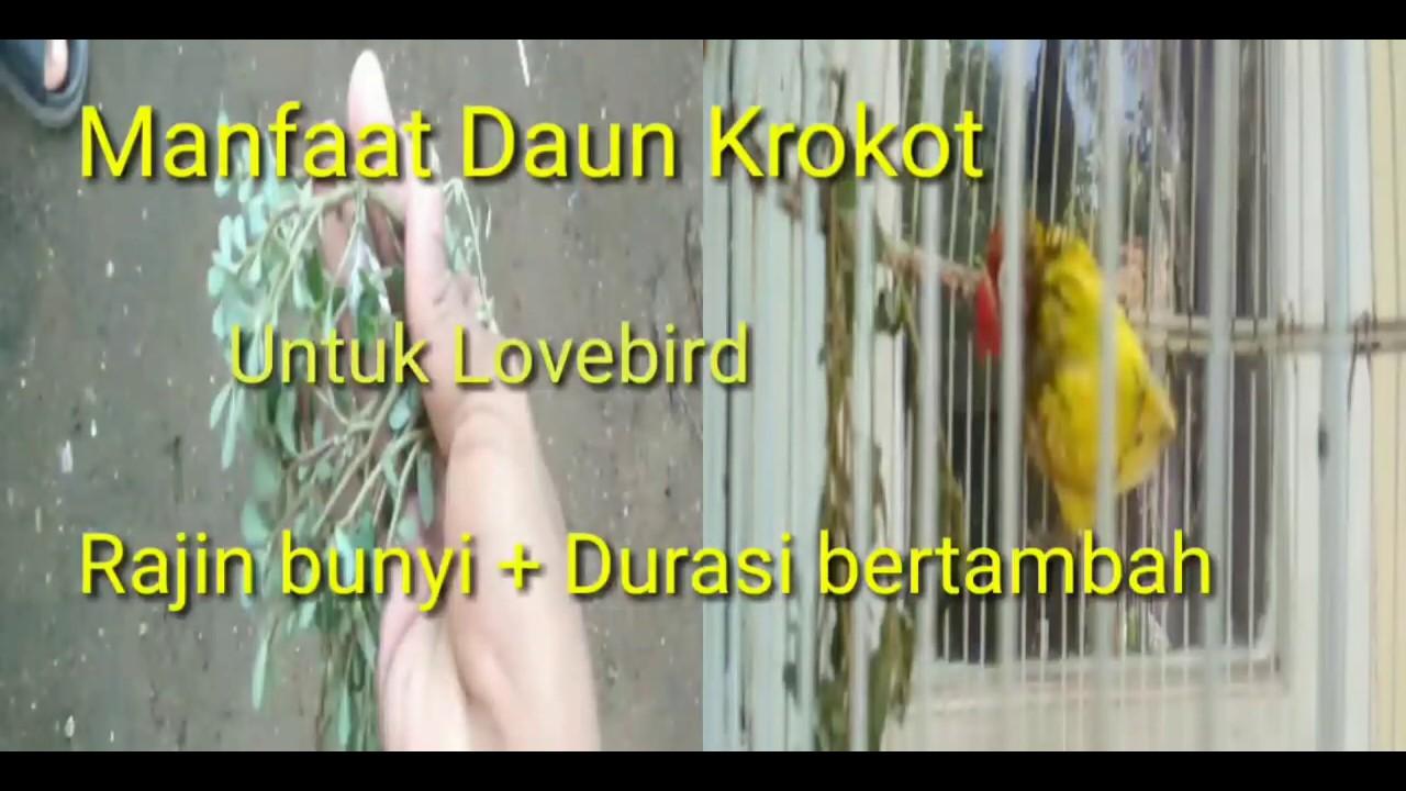 Manfaat daun krokot untuk lovebird- Rajin bunyi dan keluar ...