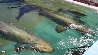 MONSTER FISH FEEDING *12,000 &…