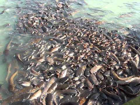 Catfish feeding jaisalmer rajasthan india youtube for How to feed fish