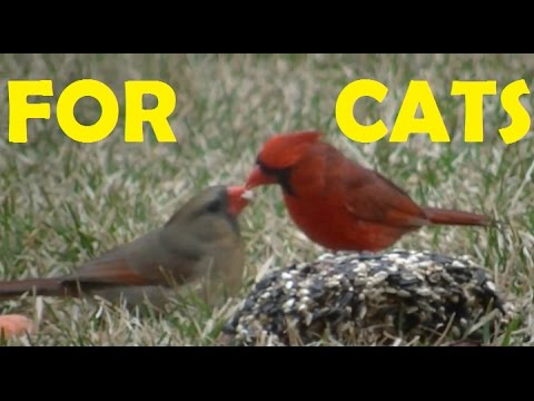Amazing Movie For Cats , Cats Can't Resist These Little Birds !