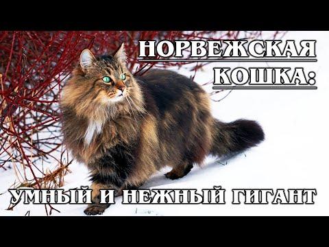 НОРВЕЖСКАЯ ЛЕСНАЯ КОШКА: Умнейшая кошка викингов | Интересные факты про кошек | Породы кошек