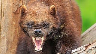 ВЕРСУС. РОСОМАХА В ДЕЛЕ!  Её боятся волки и даже медведи!!!
