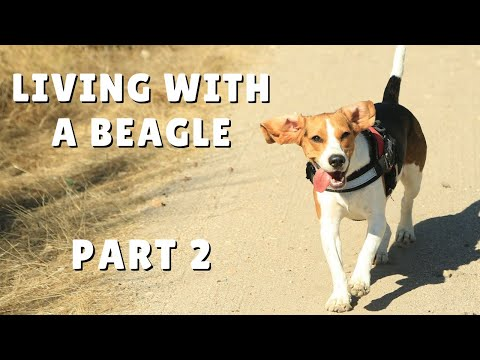 Funny BEAGLE Compilation! Why You Should Get A Beagle Dog. Episode # 2