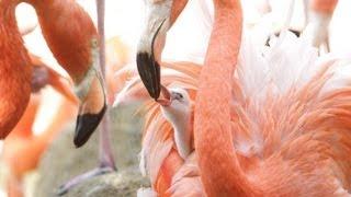 神戸市立王子動物園(同市灘区)で、フラミンゴのベビーラッシュが始ま...