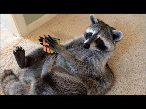 The Woody Show - Raccoon News: Raccoon Solves a Rubik's Cube