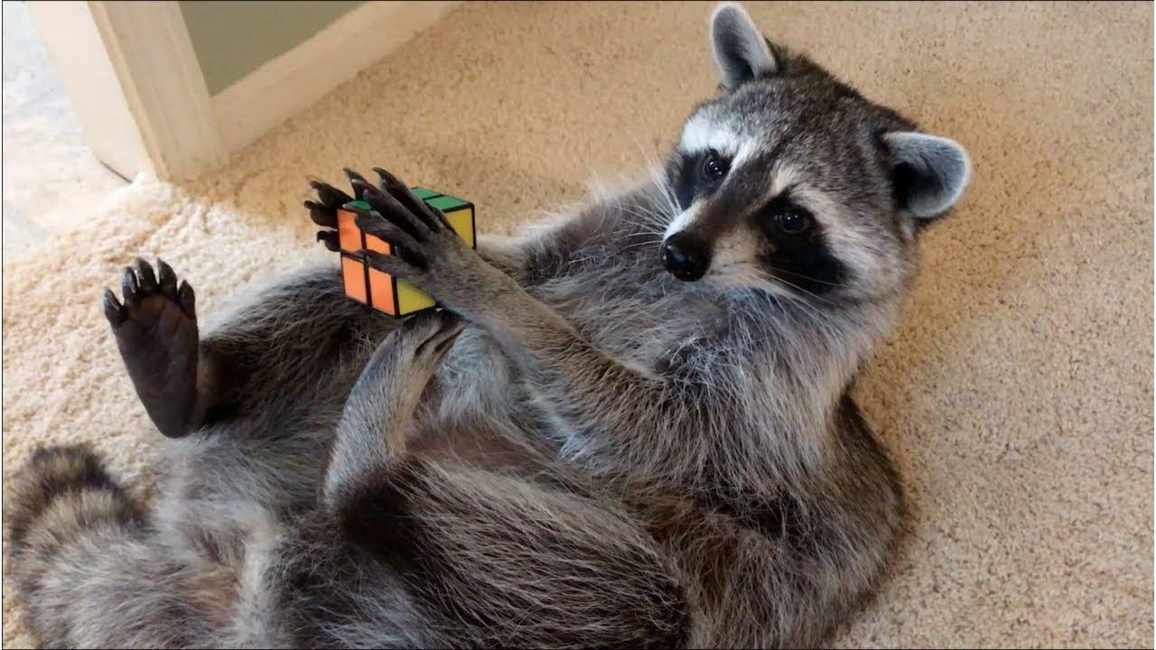 Um, Well, Here's A Raccoon Solving A Rubik's Cube - Digg