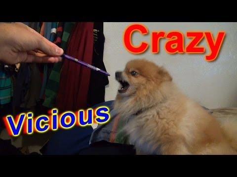 Crazy Vicious Dog Doesnt Like Anything Evil Pomeranian Youtube