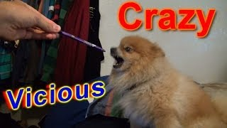 Crazy Vicious Dog Doesn't Like Anything!!! Evil Pomeranian!