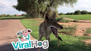 Golfers Provide Thirsty Coyote with Water