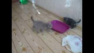 котята британские недорого г Полтава Украина