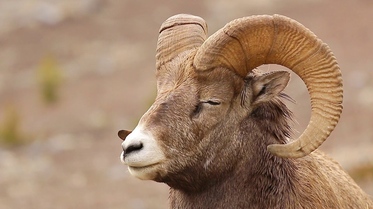 Bighorn Sheep - Incredible Canadian Animals - YouTube