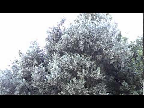 Най - старата маслина в центъра на Ивайловград