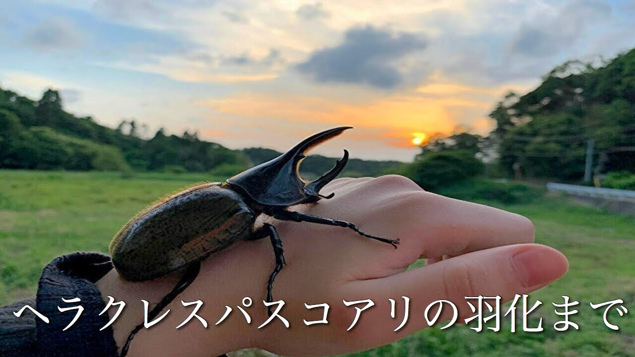 ヘラクレス パスコアリ のペア羽化まで       ( ヘラクレスオオカブト 亜種 )