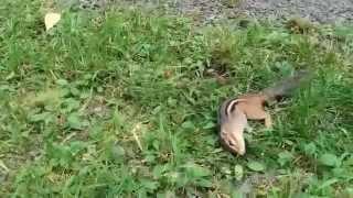 Crazy Chipmunk Odd Behavior 2
