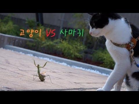 고양이 vs 사마귀 Cat vs Mantis