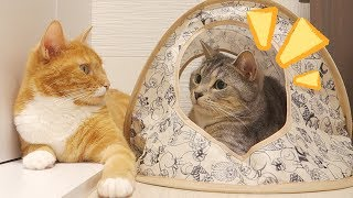 Chai ( the red tabby cat ) and Sushi ( the silver one ) were relaxi...
