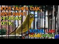 Pancingan Kecial Kuning Lombok Jos Tampa Ciak Sped Rapet Hitungan Detik  Mp3 - Mp4 Download