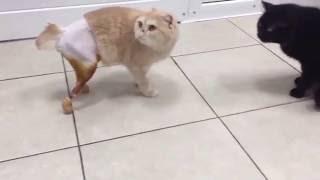 Первая в России кошка с двумя искусственными лапами научилась уверенно ходить