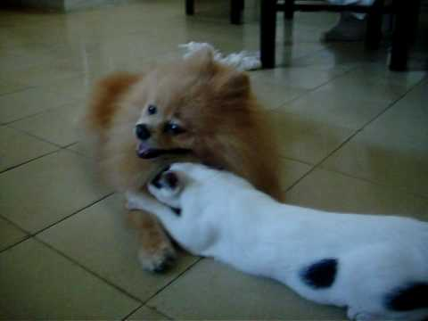 pomeranian and cats love between pomeranian and cat youtube 7048