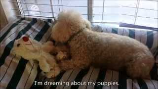 pregnant girls dream / toy poodle - Macy, Week 6