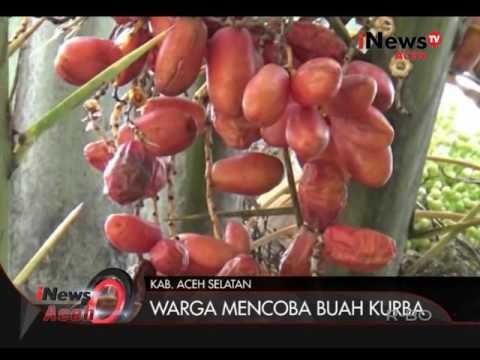 Kurma Unik di Aceh Selatan | iNews 05/09/2016