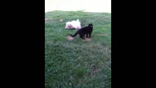 Long Hair Maltese And Cat