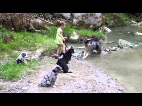 Australian Shepherd Welpen (7 - 8 Wochen alt)