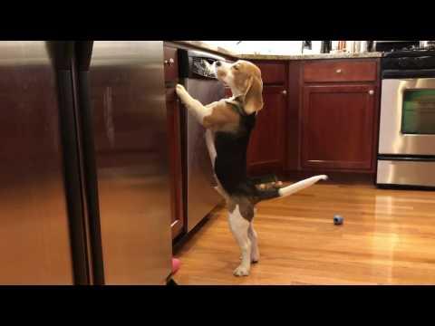 Beagle puppy counter-surfing