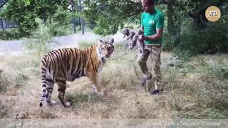 Тигрица доверяет только одному человеку. Тайган. A tigress trusts only one person. Taigan