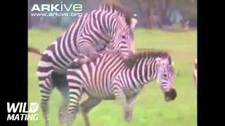 Zebra mating sex 2016
