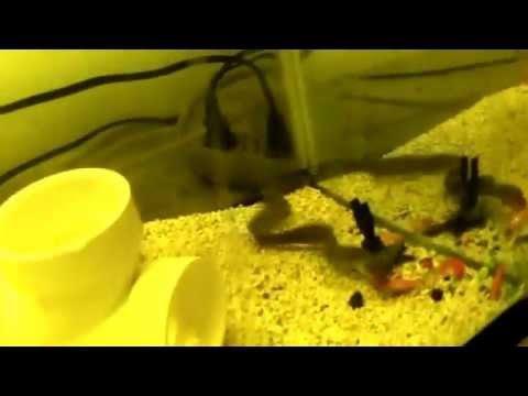 Fresh Water Moray Eel eating goldfish