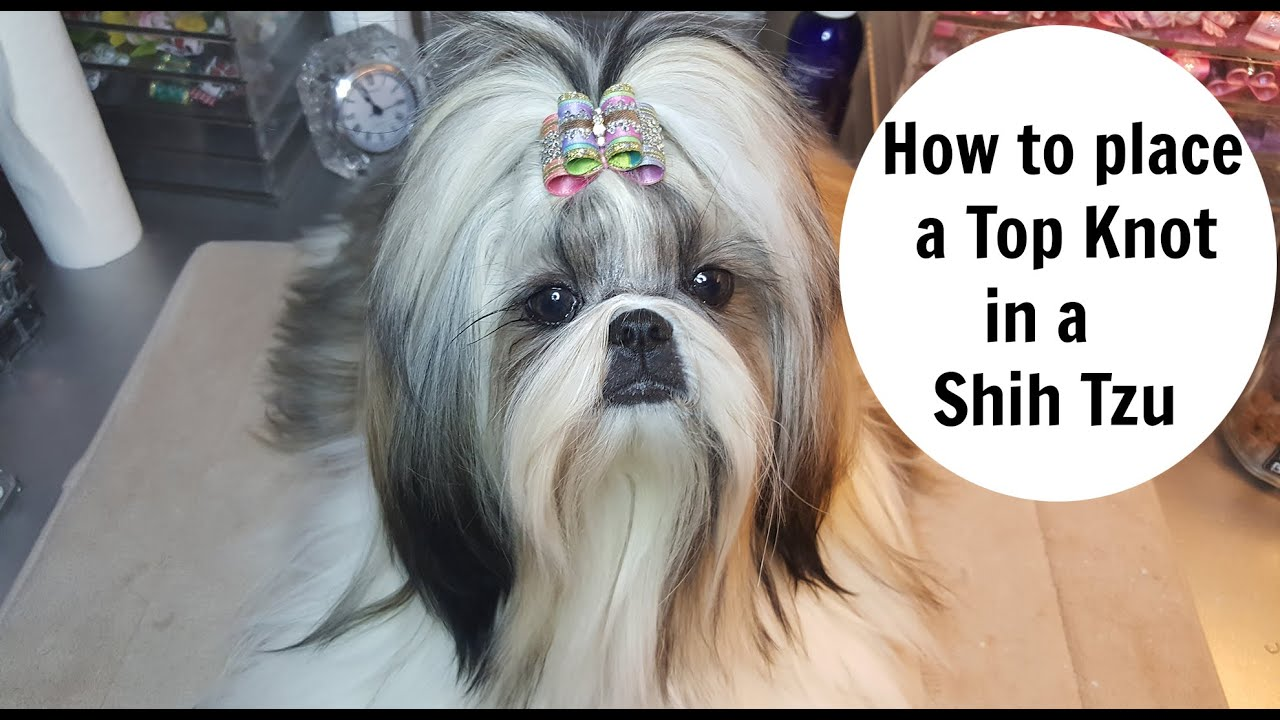 How To Place Topknot In A Shih Tzu Youtube