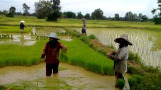 Thai farmers in Udon picking the Rice.  UdonThani Rice farmers on Cam 20 Rai Rice Fields