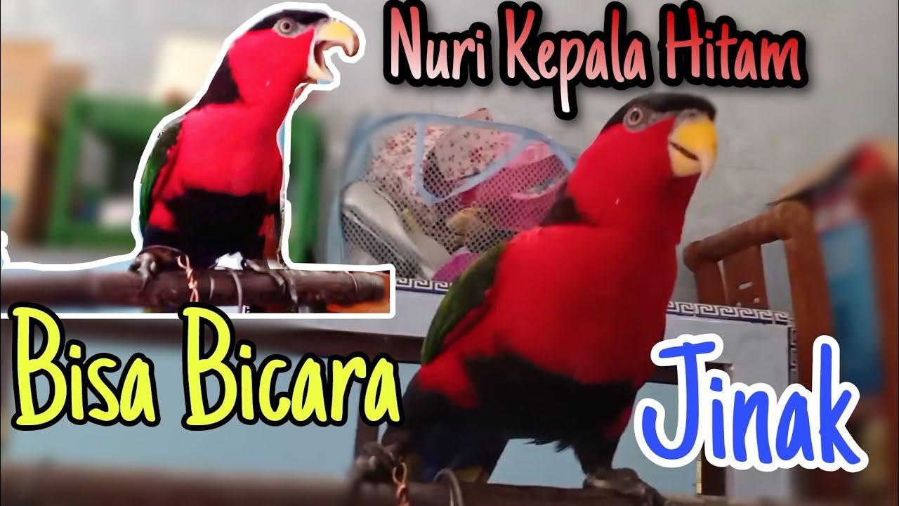 3 Cara Mudah Untuk Melatih Dan Menjinakkan Burung Nuri Kepala Hitam Di Jamin Berhasil Youtube